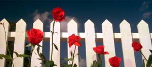 Blue Velvet White Fence Red Roses